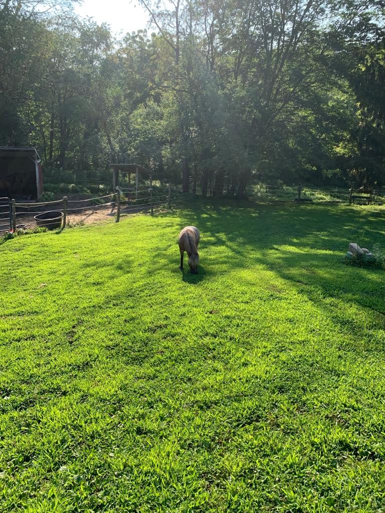 Jiminy grazing in the backyard