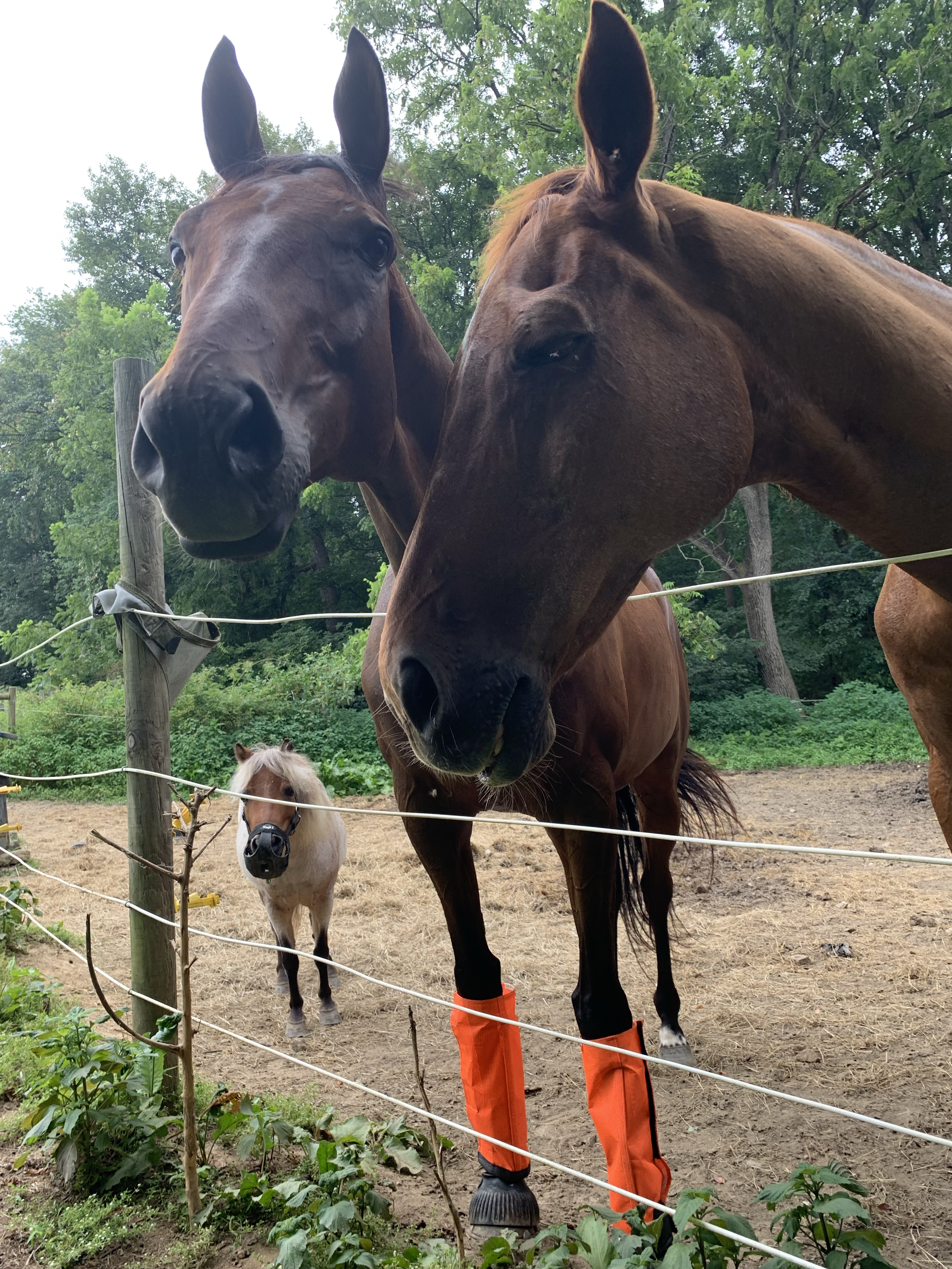 Jiminy, Nay Nay, and Subi by fence in paddock